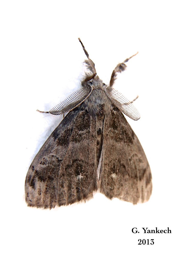 Tussock Moth<br /> <br /> species identification  unidentifiable BAMONA