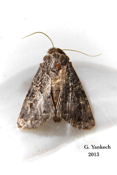 Glassy Cutworm,  Apamea devastator,  –   Brace, 1819<br /> <br /> (932350 – 9382)<br /> <br /> Identification confirmed BAMONA