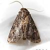 Glassy Cutworm,  Apamea devastator,  –   Brace, 1819<br /> <br /> (932350 – 9382)<br /> <br /> Identification confirmed BAMONA