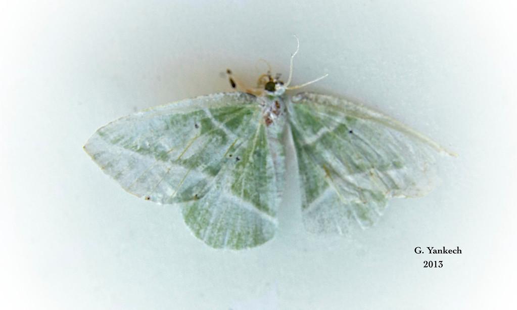 Showy Emerald , Dichorda iridaria – Guenée, [1858]<br /> <br /> (207275 – 7053 )