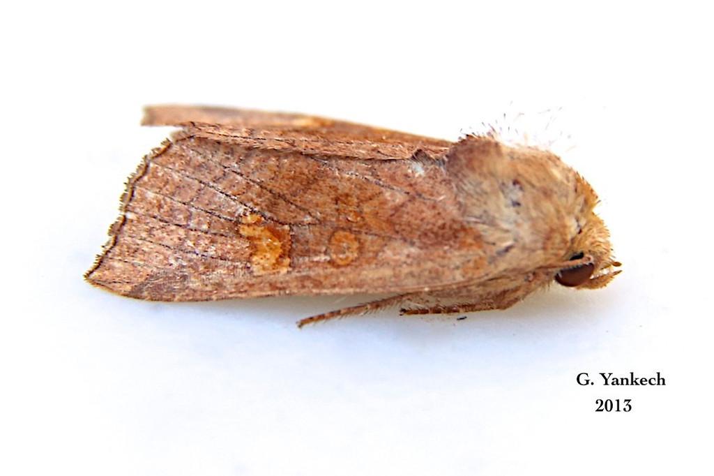 American Ear Moth, Amphipoea americana –  Speyer, 1875<br /> <br /> (932447 – 9457)