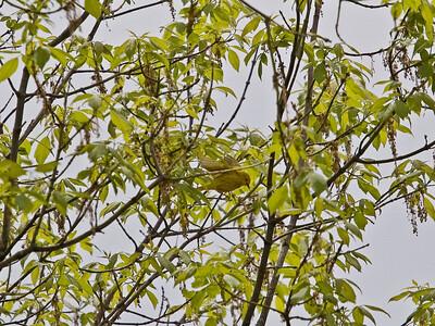 Yellow Warbler (detail)