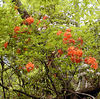 Flame Azalea along Roundtop Trail GSMNP<br /> Rhododendron calendulaceum<br /> May 12, 2007