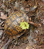 Box Turtle crawling out of the way on Roundtop Trail<br /> GSMNP May 12, 2007