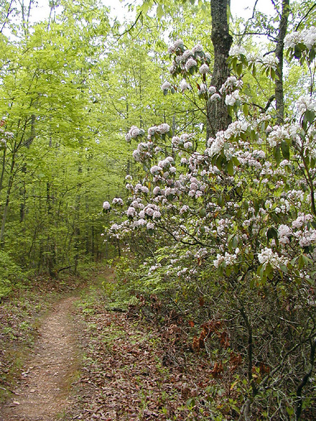 Start of Roundtop Trail lined with laurel<br /> GSMNP Saturday May 12. 2007