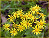 Yellow Ragwort or Butterweed along Roundtop Trail<br /> Senecio glabellus<br /> Asteracea family<br /> Roundtop Trail, GSMNP<br /> May 12. 2007