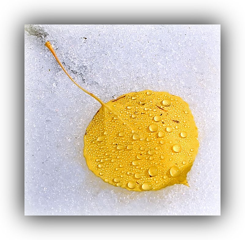 Aspen Leaf on Snow