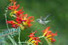 Ruby Throated Humming Bird :
