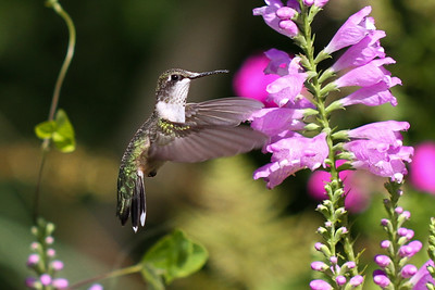female Ruby-throated Hummingbird on Obedient Plant (Physostegia virginiana) Backyard in Trempealeau County 8/26/14 Canon 7D with Canon 100mm macro lens