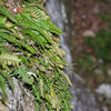 Resurection Fern at the Entrance of the Cave