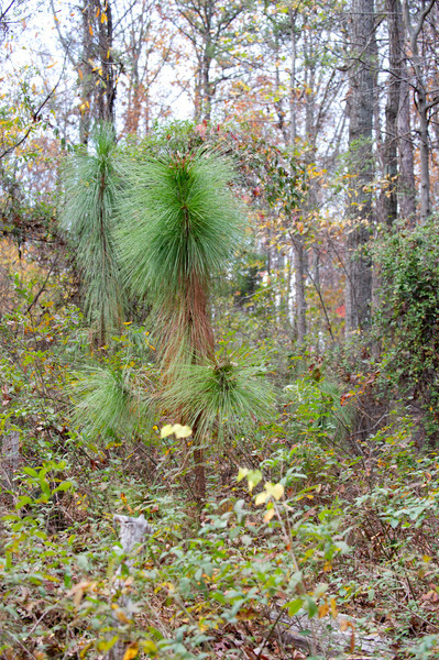 Long Needle Pine - Planted 2003
