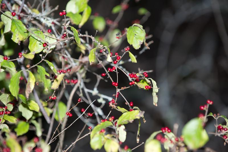 Aronia arbutifolia - Red Choke-Berry