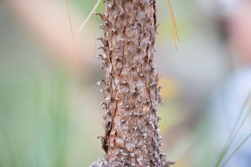 Long Needle Pine - Bark