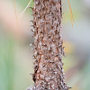 Long Needle Pine - Bark
