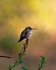 Rufous Hummingbird ~ Early Evening ~ Aug. 28, 2010