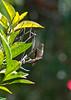 Rufous Hummingbird ~ August 28, 2010 ~ San Diego