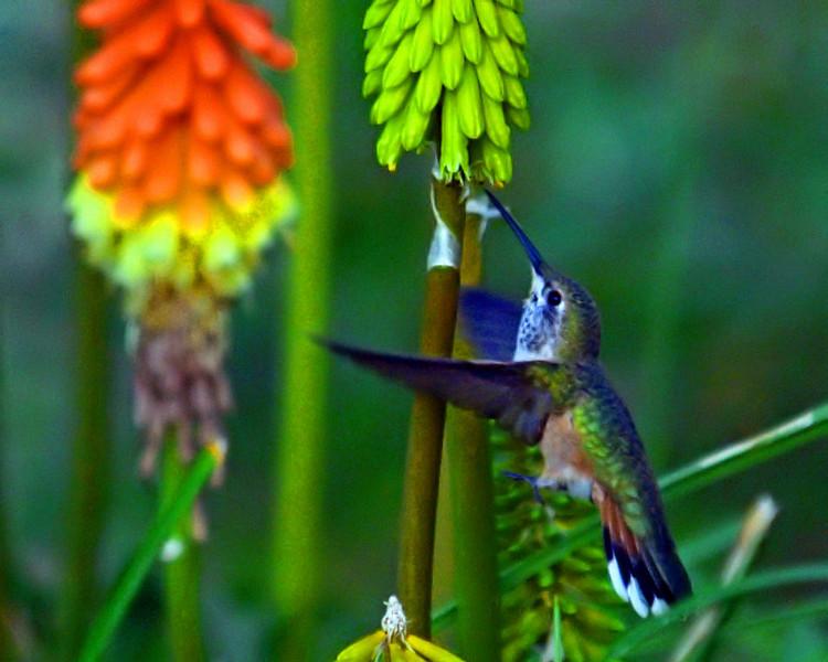 OLYMPUS DIGITAL CAMERA--Hummingbird visiting a red hot poker.