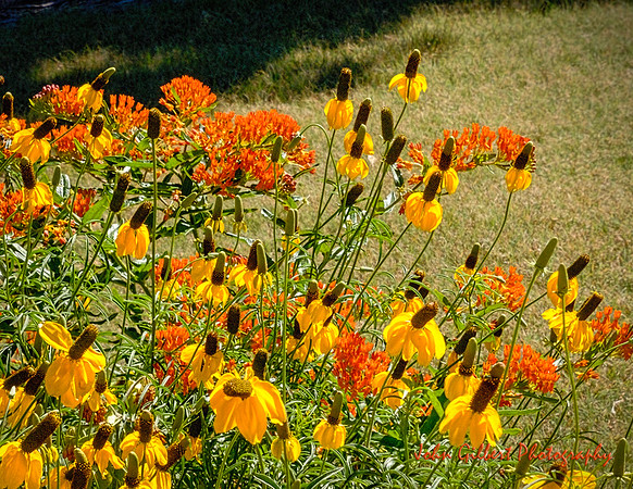 Butterfly Weed and Yellow Corn Flower