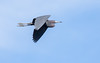 Little Blue Heron in Flight