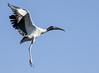 Wood Stork in Landing Approach