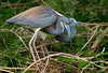 Tricolored Herons Nesting pair