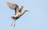 White Ibis (juvenile) in Flight
