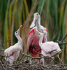Roseate Spoonbill Nest This morning, St. Augustine