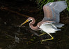 A Juvenile Tricolored Heron Snatches a Tiny Fish