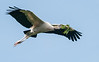 Wood Stork Bringing Home a New Twig for the Nest