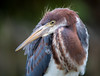 Brand New Outfit (young tricolored heron today in St. Augustine)
