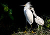 Snowy Egret with Young