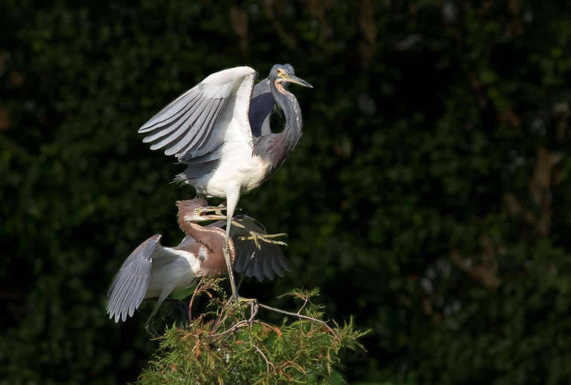 Juvenile (left) and Adult Tricolored Herons