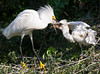 Snowy Egret Chick Gets Lunch