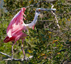 Roseate spoonbill with a stick for the nest