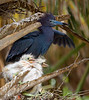 Little Blue Heron Nest