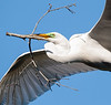 A great egret flying home with a new twig for the nest  (St. Augustine, April 2011)