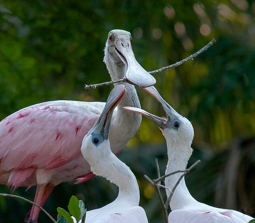 Mom shows the kids how to play with a stick. (roseate spoonbill adult and chicks, St. Augustine, FL, July 2010)