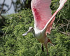 Roseate Spoonbill launching into flight