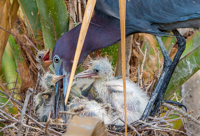 Little Blue Heron with Hungry Chicks
