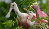 Roseate Spoonbill Chick and Parent