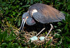 Tricolored Heron on Nest with Eggs