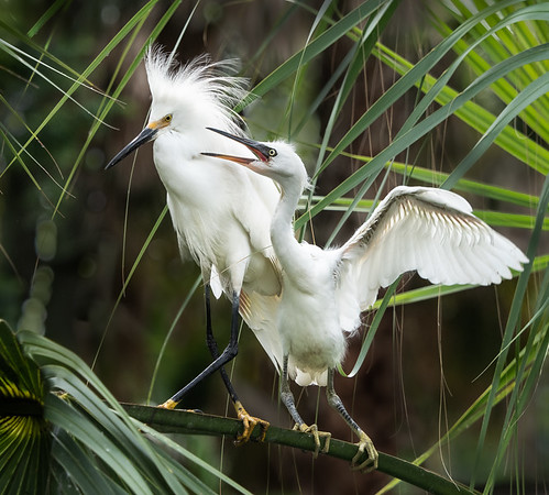 Snowy Egret with Hungry Chick