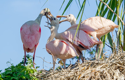 Feeding time for roseate spoonbill chicks