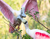 """The Hand-off""  A roseate spoonbill returns to its nest site and passes a new stick to its mate for the nest."