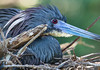 Tricolored Heron on its Nest