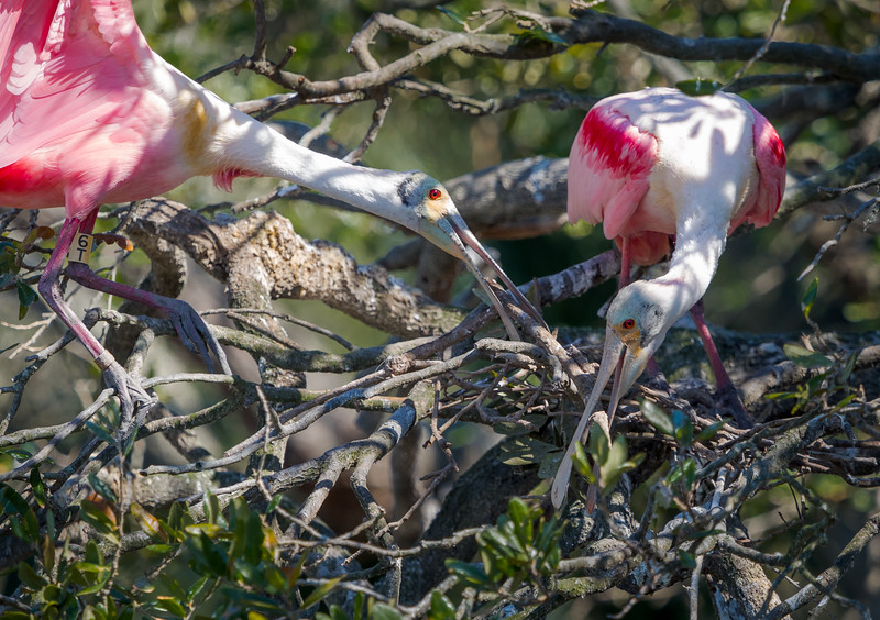 Rosseate spoonbills building their nest