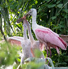 Sibling Rivalry in the Spoonbill Nest