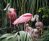 Telling Mommy a Secret  Roseate Spoonbill Family St. Augustine, May 2014
