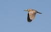 Imature Black-Crowned Night Heron in flight