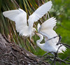 When the young wading birds are almost ready to fledge, they almost seem bigger than their parents and they are voracious. The parents seem to approach the nest with trepidation to feed these monsters. I guess fledging takes place when the parents can no longer summon the nerve to return.  (Snowy egrets, St. Augustine)